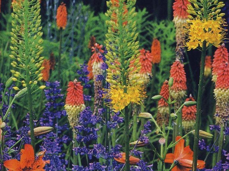 Контрастный цветник - котовник, лилии, эремурус и книфофия