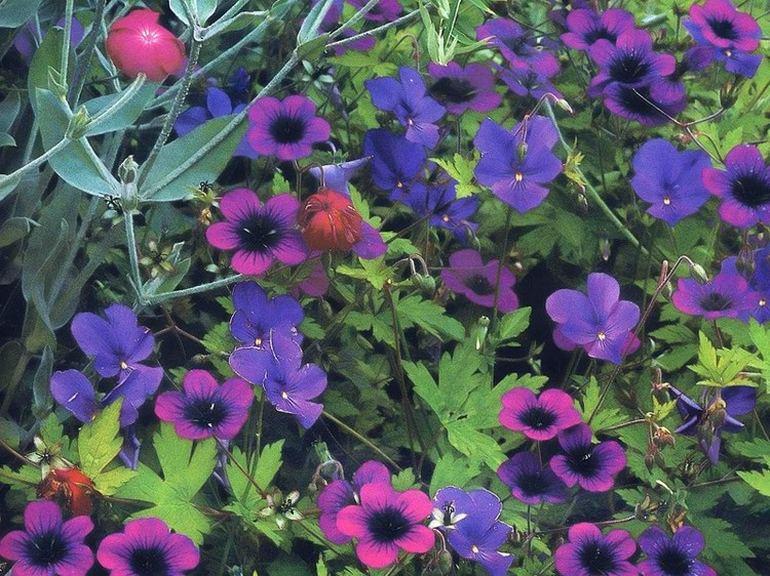 Сине-фиолетовый цветник из герани, фиалки и лихниса